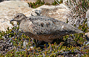 """The rufous-bellied seedsnipe (Attagis gayi), below Piedra Negra in Rio Electrico Valley, Santa Cruz Province, Argentina, Patagonia, South America. Attagis gayi is a wading bird resident in the Andes of South America from Ecuador and southwards. Its most common food is the buds and leaf tips of cushion plants. Refugio and Campground Piedra del Fraile (""""Stone of the Friar""""; 14.5 km round trip) serves as a comfortable base for hiking and climbing in scenic Rio Electrico Valley."""