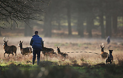 © Licensed to London News Pictures. 23/12/2015. London, UK. A dog is restrained by it's owner as it tries to run towards deer in Richmond Park.  Photo credit: Peter Macdiarmid/LNP