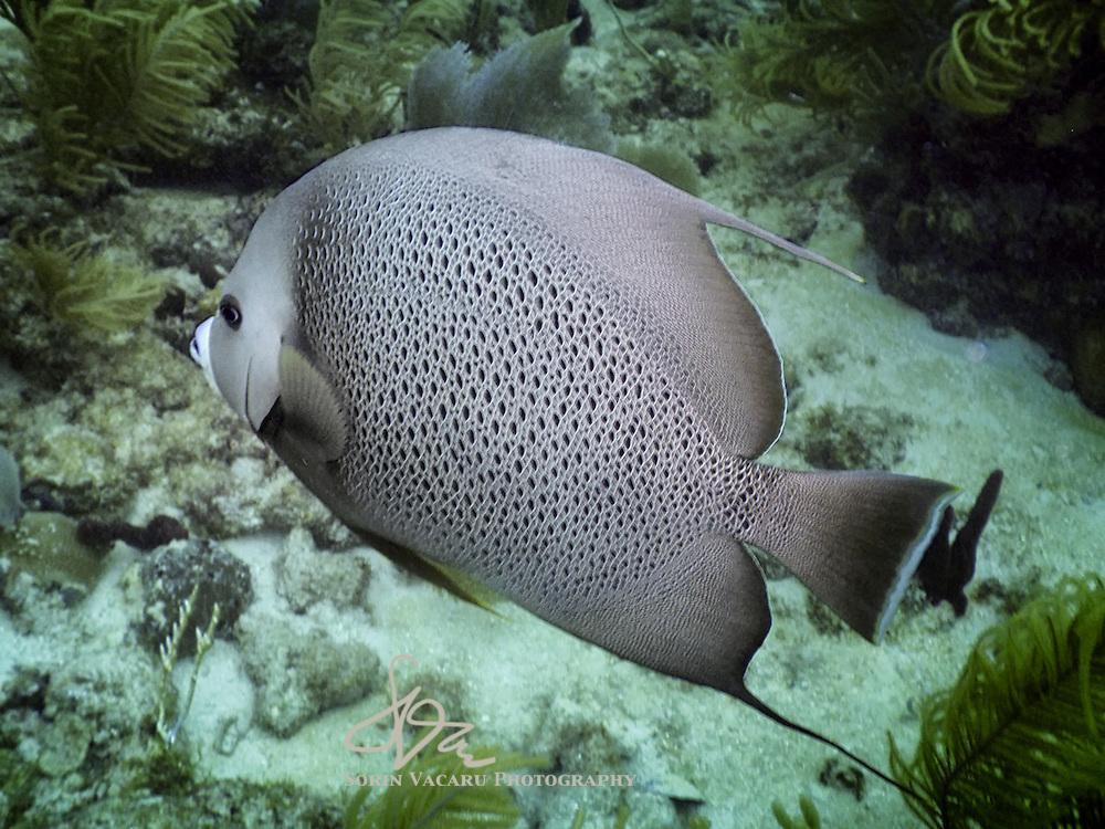 Gray Angelfish Swimming Among Soft Corals off the Riviera Maya