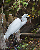 GREAT EGRET: BEHAVIOR AND ECOLOGY