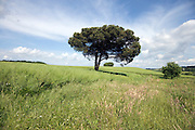 a single pine tree in landscape France