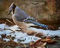 Blue Jay. Image taken with a Nikon D5 camera and 600 mm f/4 VR lens (ISO 1600, 600 mm, f/4, 1/800 sec)
