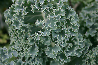 Organic curly kale vegetable plant in an Irish garden<br />
