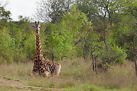 Giraffe sits in African plains
