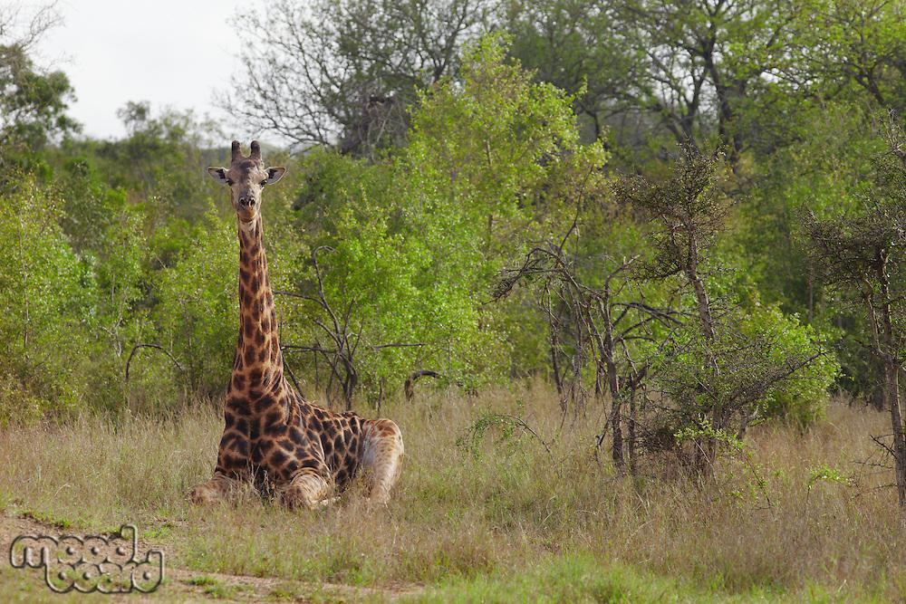 Giraffe sits in African plains