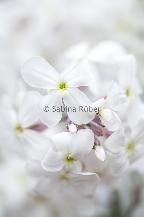 Hesperis matronalis 'Alba' - white sweet rocket