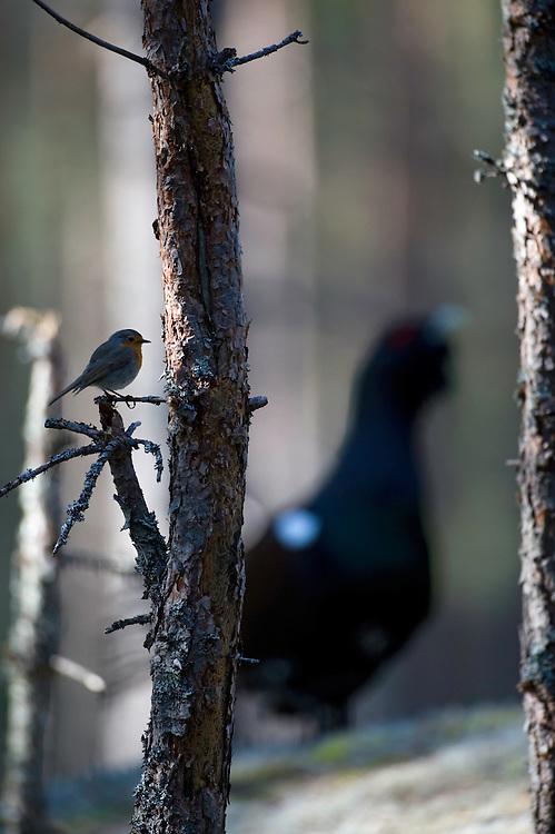 01.05.2009.Capercaillie (Tetrao urogallus) and European Robin (Erithacus rubecula). Courting. Lekking behaviour..Bergslagen, Sweden.