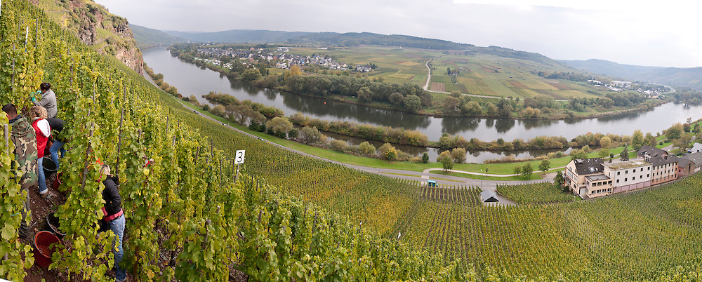 2010 harvest of Riesling at Dr. Loosen's estate vineyards in Ürzig, one of his six major vineyards designated as Erste Lage (equivalent to grand cru) in the Mosel region of Germany.  The vineyard is situated a picturesque amphitheater formed by this dramatic bend in the river, on an insanely steep slope made up of red volcanic & slate soil.