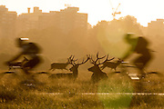 UNITED KINGDOM, London: 04 August 2015 Fallow deer take a rest in the early morning sun as commuters ride through Richmond Park this morning. Rick Findler / Story Picture Agency