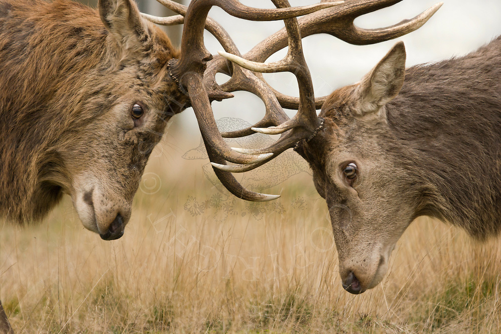 Red Deer (Cervus elaphus) Stags during rut, close-up of heads with antlers locked