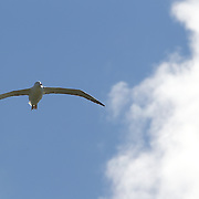An Albatross soaring at The Royal Albatross Colony at Taiaroa Head, on the tip of the Otago Peninsula, New Zealand. The colony is the only mainland breeding colony for any albatross species found in the southern hemisphere. The first Taiaroa-reared albatross chick flew in 1938 and this now protected nature reserve has grown into an established colony with a population of around 140 birds. Otago Peninsular, South Island, New Zealand, 25th March 2011, Photo Tim Clayton
