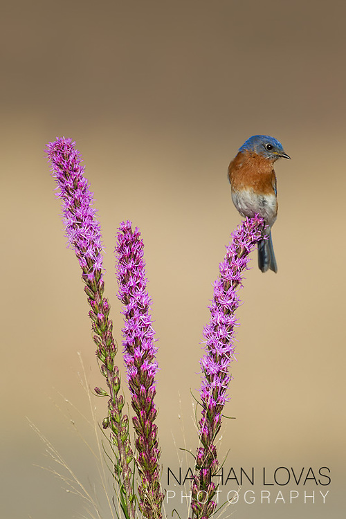 Eastern Bluebird male perched on Blazing Star (Liatris) flower;  Minnesota.