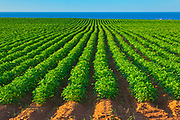 Rows of potatoes and red soil<br />East Point<br />Prince Edward Island<br />Canada