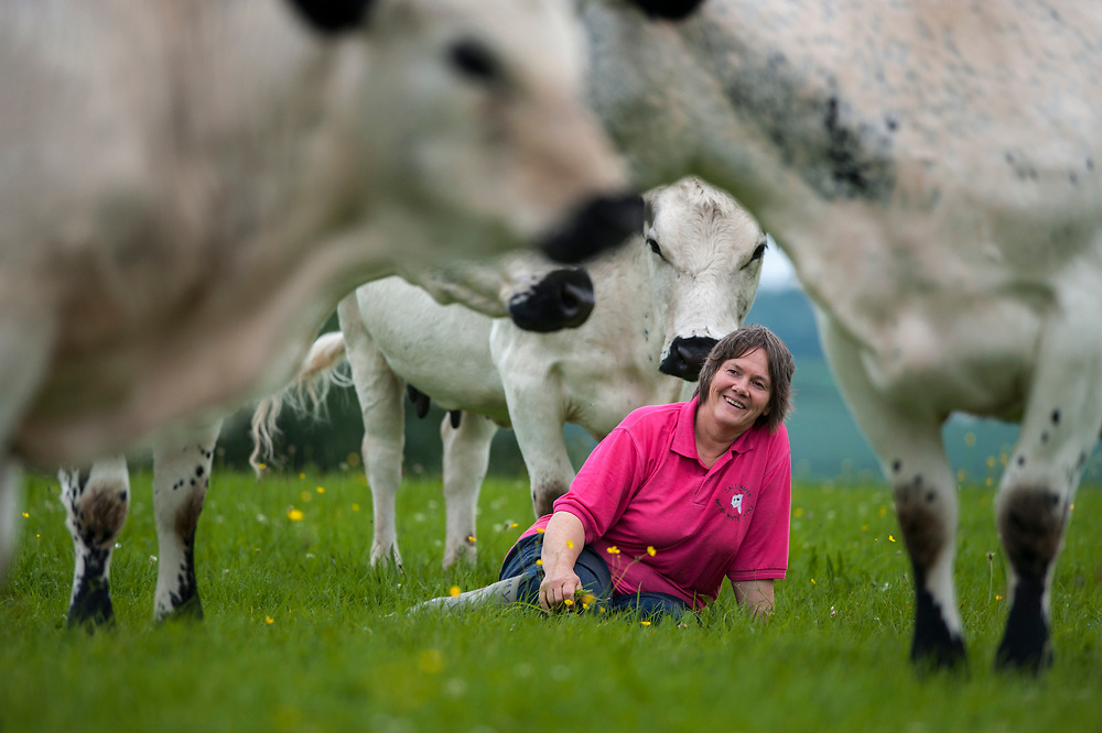 Angie Hamilton with her British White Cattle on their farm in Carmarthenshire, Wales.<br /> <br />  The British White is polled (genetically hornless), docile and was a dual purpose breed (beef and milk) until 1950. Since then the British Whites selection has been for beef production with carry over heavy milk production.