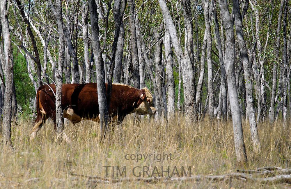 Bull walking among trees in Queensland, Australia