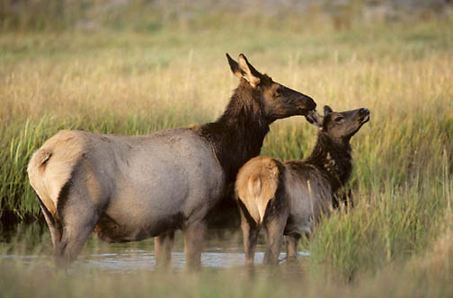 Elk, (Cervus elaphus) cow with calf in river. Fall.
