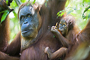 Sumatran Orangutan<br /> Pongo abelii<br /> Mother and 9 month old infant<br /> North Sumatra, Indonesia<br /> *Critically Endangered
