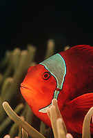 Raja Ampat Indonesia Pacific Ocean spinecheek anemonefish (Premnas biaculeatus) close-up