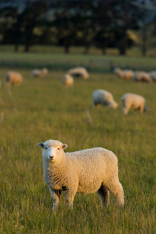 A lamb is lit by the warm glow of the setting sun in lush pasture.