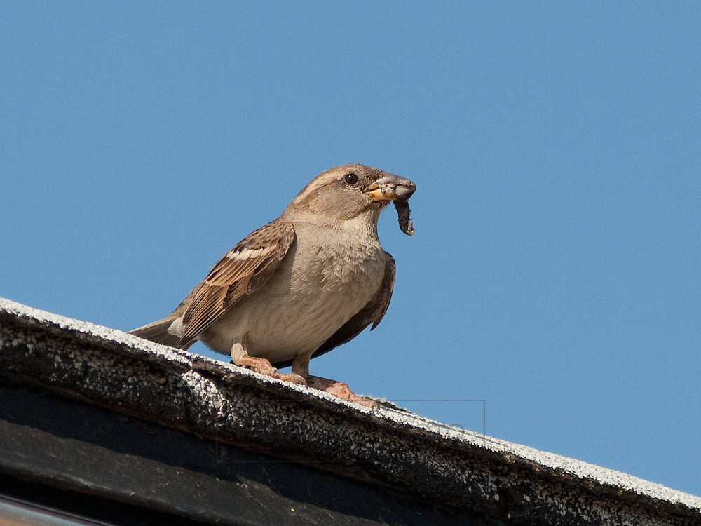 A sparrow waits for the right moment to enter the nest hole.