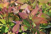 Closeup of flourishing eucalyptus leafs