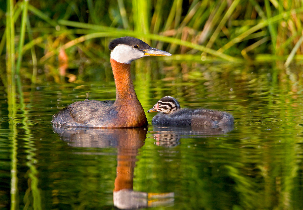 Alaska. Red-necked Grebe (Podiceps grisegena) and chick on a southcentral Lake.