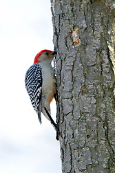 8 Apr 2006  Spring images at Comlara Park in McLean County, north of Bloomington-Normal Illinois..woodpecker (Photo by Alan Look)