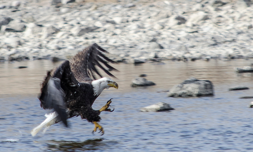 Bald Eagle fishing on the Arkansas River. Colorado. USA. <br />