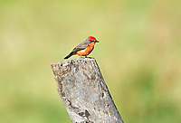 Vermilion Flycatcher (Pyrocephalus rubinus) perched on an old post,  Ajijic, Jalisco, Mexico