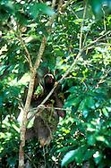 Los folívoros (Folivora) o filófagos (Phyllophaga) son un suborden de mamíferos placentarios del orden Pilosa, comúnmente conocidos como perezosos o pereza. Son animales neotropicales de variado tamaño (de 0,5 m a 1,7 m) endémicos de las selvas húmedas de Centro y Sudamérica. Las especies actuales se pueden clasificar en dos géneros: los perezosos de tres dedos (Bradypus, Bradypodidae) y los perezosos de dos dedos (Choloepus, Megalonychidae), pero se conocen más de 50 géneros extintos.<br /> <br /> El parecido de los perezosos con el de los primates es solo aparente, ya que no guarda ninguna relación cercana con estos, lo cual es buen ejemplo de evolución convergente. Se encuentran emparentados con los osos hormigueros, y más lejanamente, con los armadillos.<br /> <br /> En Panama se pueden encontrar ocho diferentes especies de primates, de los cuales varios son considerados endémicos. <br /> <br /> ©Alejandro Balaguer/ Fundacion Albatros Media