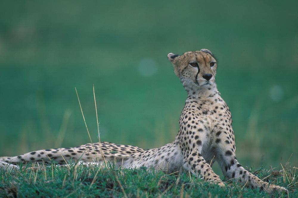 Kenya, Masai Mara Game Reserve, Adult Female Cheetah (Acinonyx jubatas) resting on low mound on savanna