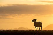 Sheep at sunrise, Northern Iceland   Sau i soloppgang, Nord-Island.