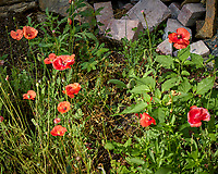 Red Poppies. Image taken with a Leica TL2 camera and 60 mm f/2.8 lens
