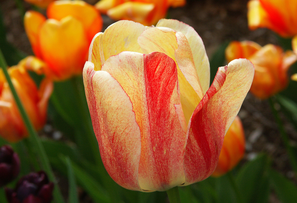 A tulip near the Lily Pond.