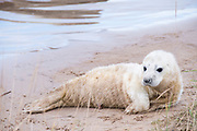 Donna Nook, Lincolnshire, UK – Nov 15: Close up on a cute fluffy newborn baby grey seal pup lying on the beach on 15 Nov 2016 at Donna Nook Seal Santuary, Lincolnshire Wildlife Trust