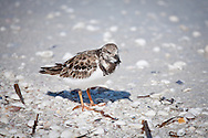 A ruddy turnstone in winter plumage  on the beach at Lighthouse Point in Sanibel, Florida.