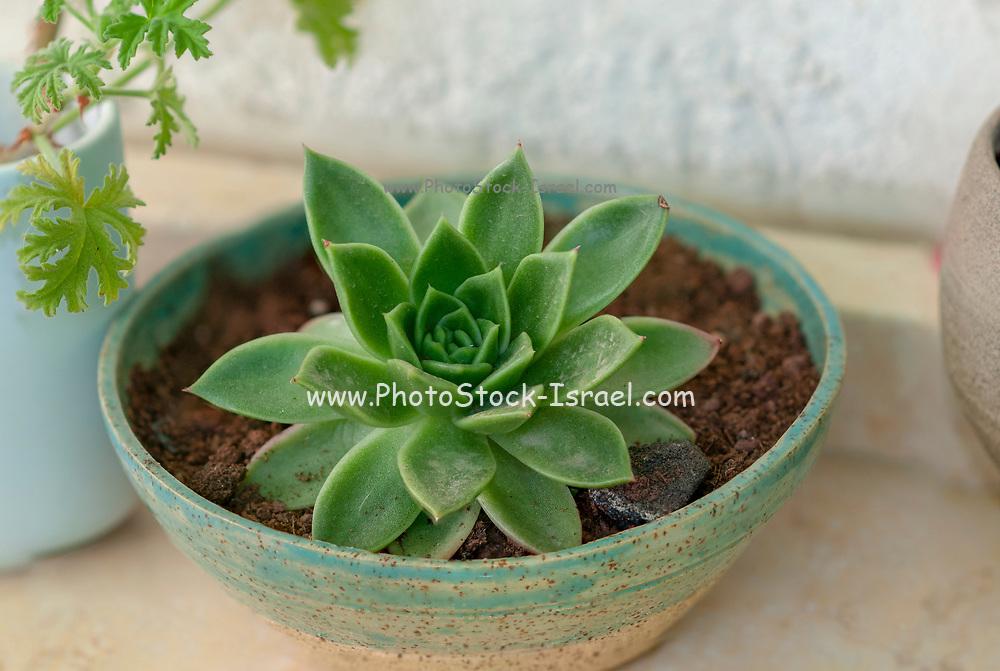 Potted Houseleek (Sempervivum tectorum)