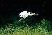 Capped Heron in flight - Amazonia, Peru.