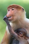 Proboscis Monkey<br /> Nasalis larvatus<br /> Infant grabbing mother's nose<br /> Sabah, Malaysia