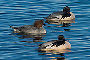 The Merganser duck is very shy and difficult to find in Iceland. Only 300 pairs can be found in Iceland.