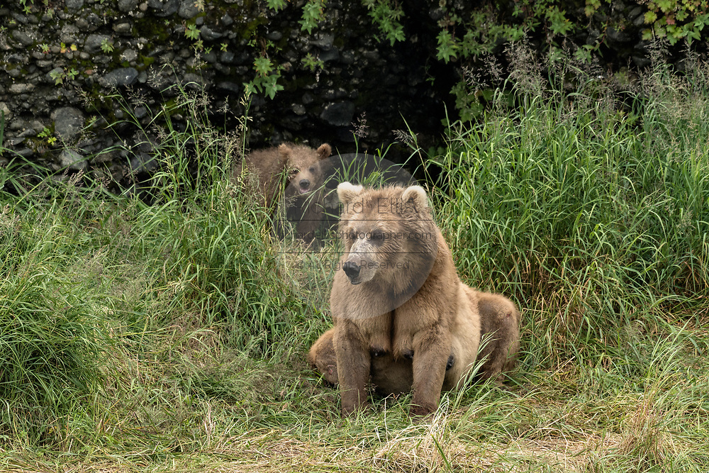 A brown bear sow known as Simba guards the den where her spring cubs are resting at the McNeil River State Game Sanctuary on the Kenai Peninsula, Alaska. The remote site is accessed only with a special permit and is the world's largest seasonal population of brown bears in their natural environment.