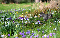 A squirrel picks a flower in London's Hyde Park where spring flowers are blooming.<br /> Weather in Hyde Park London. Wednesday, 5th March 2014. Picture by Ben Stevens / i-Images