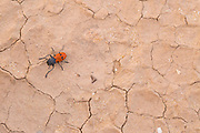 Leaf beetle (Lachnaia) on the ground. Photographed in Israel, Negev Desert in March