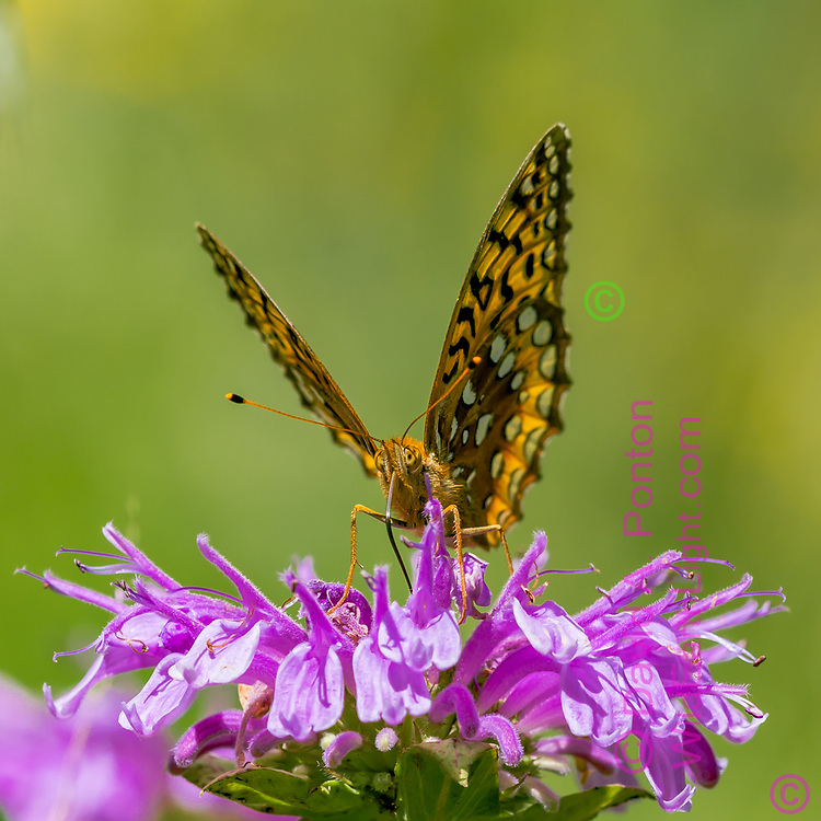 Fritillary butterfly with its tounge unfurled preparing to insert it into the deep corolla of a horsemint flower to draw up nectar, mountain meadow, Jemez Mountains, NM, © 2010 David A. Ponton