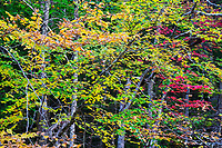 Beech & Maple Tree Fall Foliage, Green Mountain National Forest, East Arlington, Vermont