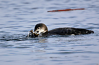 Common Loon (Gavia immer), swimming with small flatfish, Goose Spit, Comox, Vancouver Island. Winter plumage   Photo: Peter Llewellyn