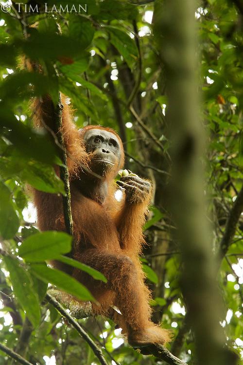 Bornean Orangutan - &quot;wurmbii&quot; subspecies<br />(Pongo pygmaeus wurmbii)<br /><br />Cabang Panti Research Station<br />Gunung Palung National Park<br />West Kalimantan, Indonesia<br />Borneo Island<br /><br /><br />Male = Syklops