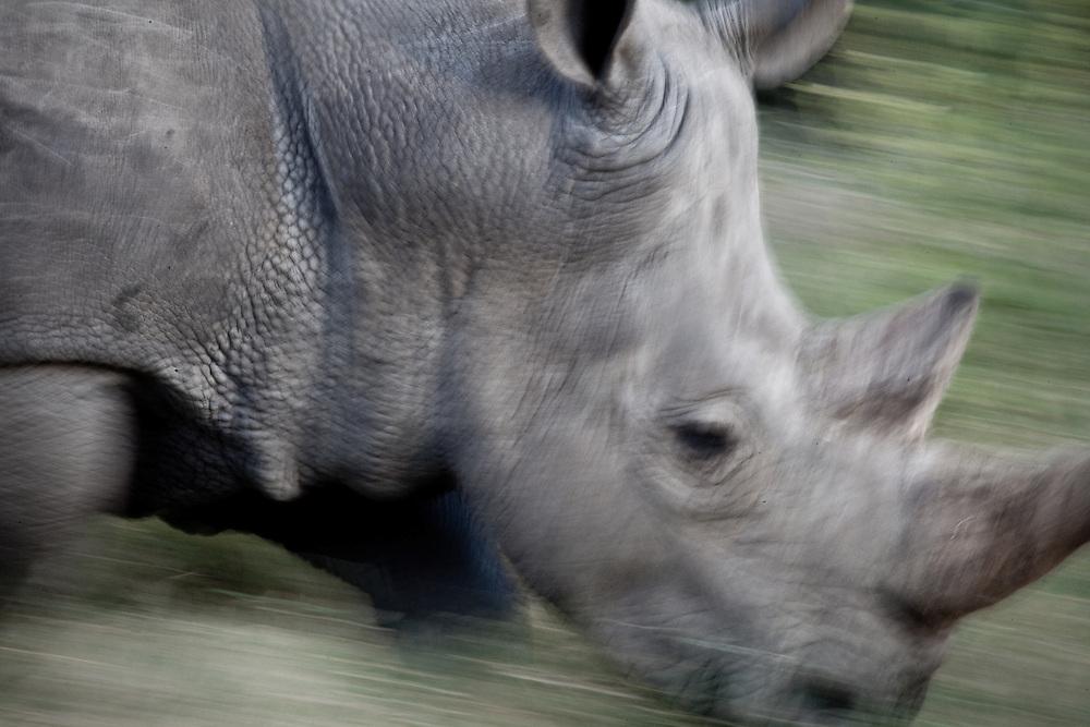 White rhino running, Solio