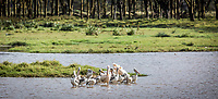 Pelicans gather in an inlet off Lake Nakuru, Kenay.