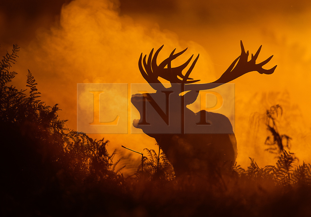 © Licensed to London News Pictures. 06/10/2017. London, UK. A stag is bellows in first light in Bushy Park. A high of 15 centigrade is expected in parts of the south today. Photo credit: Peter Macdiarmid/LNP